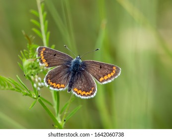 A brown argus butterfly (Aricia agestis) nectaring on wild flowers seen in May