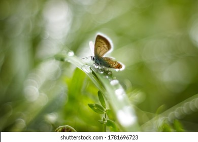 A Brown Argus Butterfly, Aricia agestis, nectaring on a daisy flower. Soft focus