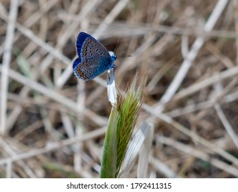 Brown argus perching on a plant