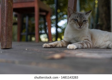 brown Asian cat is sleeping