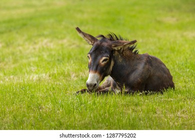 Brown attentive donkey (Equus africanus asinus) resting in the grass.