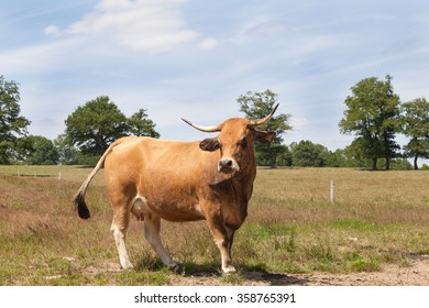 Brown Aubrac beef cow standing sideways in a sunny  summer pasture looking at the camera