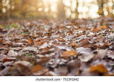Brown autumn leafs on the forest litter.