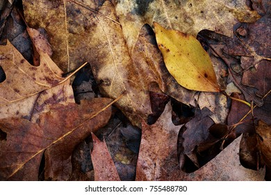 Brown autumn oak and maple leaves close up