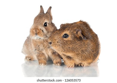 brown baby rabbit and a guinea pig