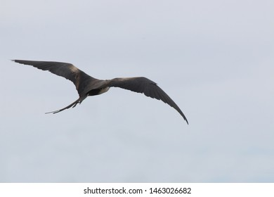 The brown backside of a magnificent frigate bird whilst flying