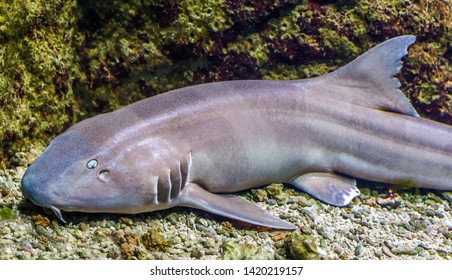brown banded bamboo shark in closeup, tropical fish from the indo-pacific ocean