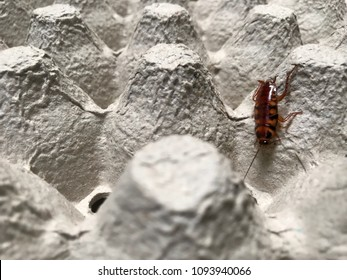 Brown banded cockroach find food on egg panel paper. An insect are dirty and has a disease.