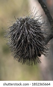 A brown banksia cone is covered with fine pale stalks. Some seed pods are just visible beneath them. The focus is on the foreground.