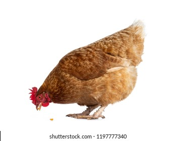 Brown Barnevelder chicken hen standing side ways eating corn, isolated on white background