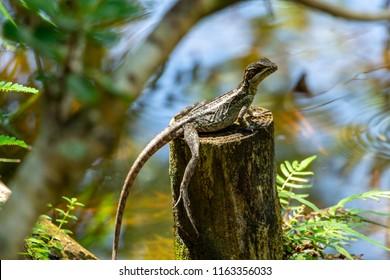 Brown basilisk (Basiliscus vittatus) lizard, female, on wood post by lake water - Delray Beach, Florida, USA