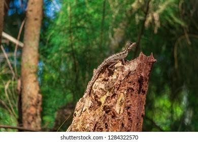 Brown basilisk (Basiliscus vittatus) lizard on tree stump - Wolf Lake Park, Davie, Florida, USA