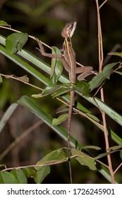 Brown Basilisk or Striped Basilisk - basiliscus vittatus at the Jardin Botanico near Puerto Morelos, Mexico