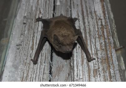 Bat Animal Hanging On Wooden Board Stock Photo Edit Now 671349436