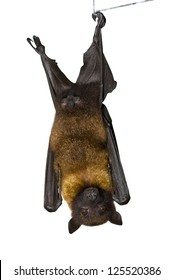 Brown Bat, view from a front. Isolated on white