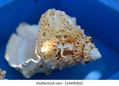 brown beach conch shells collection for decoration