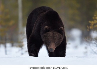Brown bear approaching on snow in winter. Bear in winter.