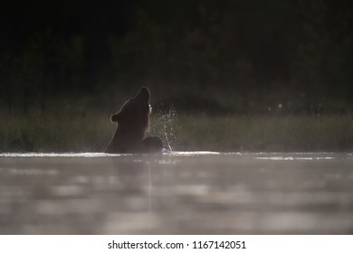 Brown bear bathing in a pond at summer midnight