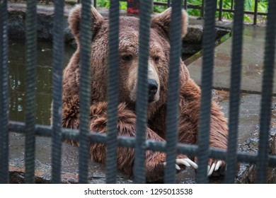 Brown bear behind the bars in the private zoo, Ukraine. Violence against animals.