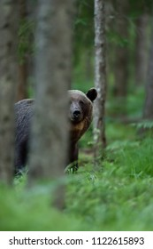 Brown bear behind a tree in forest