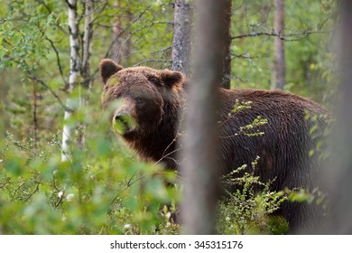 brown bear behind the trees in forest