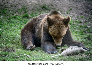 Brown bear in Carpathian Mountains in Transylvania, Romania
