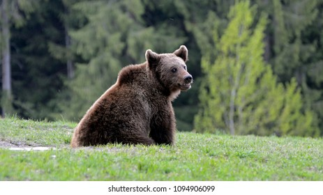 Brown bear in Carpathian Mountains in Transylvania, Romania