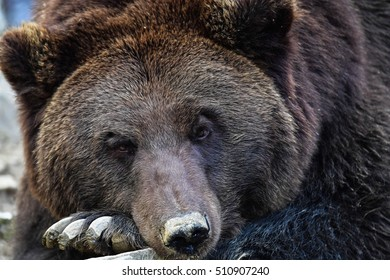 Brown bear in the Carpathian Mountains (Ukraine)
