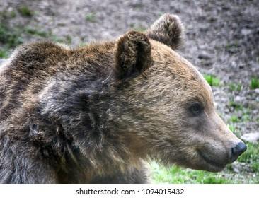 Brown bear in Carpathina Mountains in Transylvania, Romania