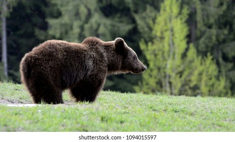 Brown bear in Carpathina Mountains in Transylvania, Romania