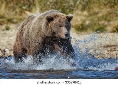 brown bear chasing and eating sockeye salmon at Katmai National Park Alaska