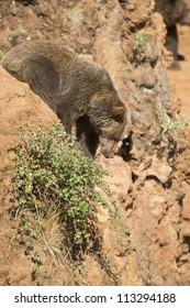 A brown bear climbing a cliff in his natural habitat.