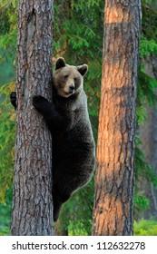 Brown Bear climbing on a tree