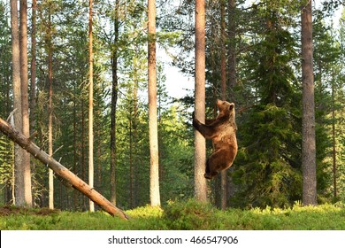 Brown bear climbing on tree in forest