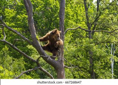 Brown bear climbs a tree