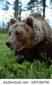 Brown bear close up portrait in forest
