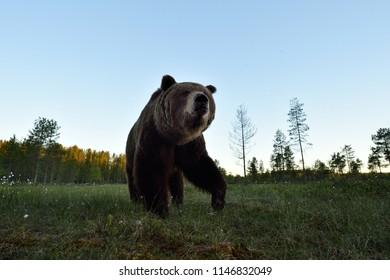 Brown bear closeup in the bog at summer