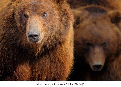 Brown bear, close-up detail portrait. Brown fur coat, danger animal. Fixed look, animal muzzle with eyes. Big mammal from Russia. Aggressive animal, second bear in the background.