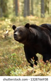 brown bear close-up in forest