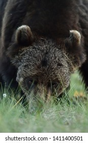 Brown bear closeup portrait at summer