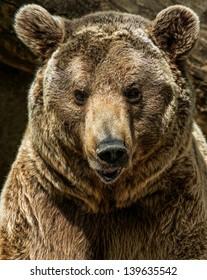 Brown bear close-up shot