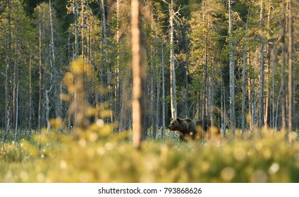 Brown bear in colorful landscape, forest background.
