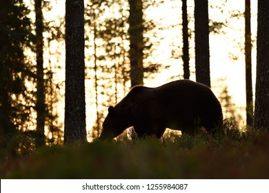 Brown bear contour in forest at sunset. Bear in forest at night.