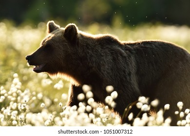 Brown bear contour. Side view of brown bear at close.