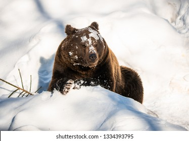 brown bear covered with snow lying in the National Park Bavarian Forest - Germany