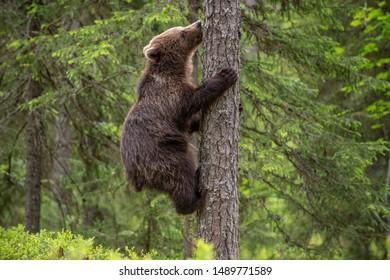 Brown bear cub climbs a pine tree. Natural habitat. Summer forest. Scientific name: Ursus arctos.