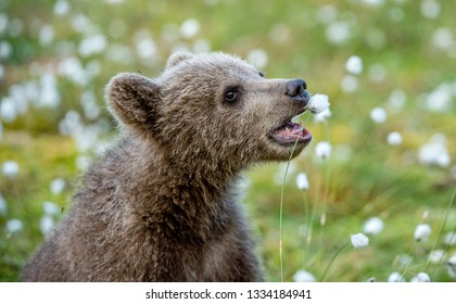 Brown Bear cub. Closeup portrait of Brown bear cub. Playing on the field among white flowers. Scientific name: Ursus arctos.