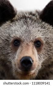 Brown bear cub face, bear portrait, closeup