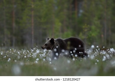 brown bear cub with forest background