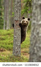 Brown bear cub hugging a tree. Bear on tree.